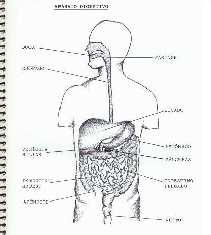 Esquema sobre el sistema digestivo - Imagui